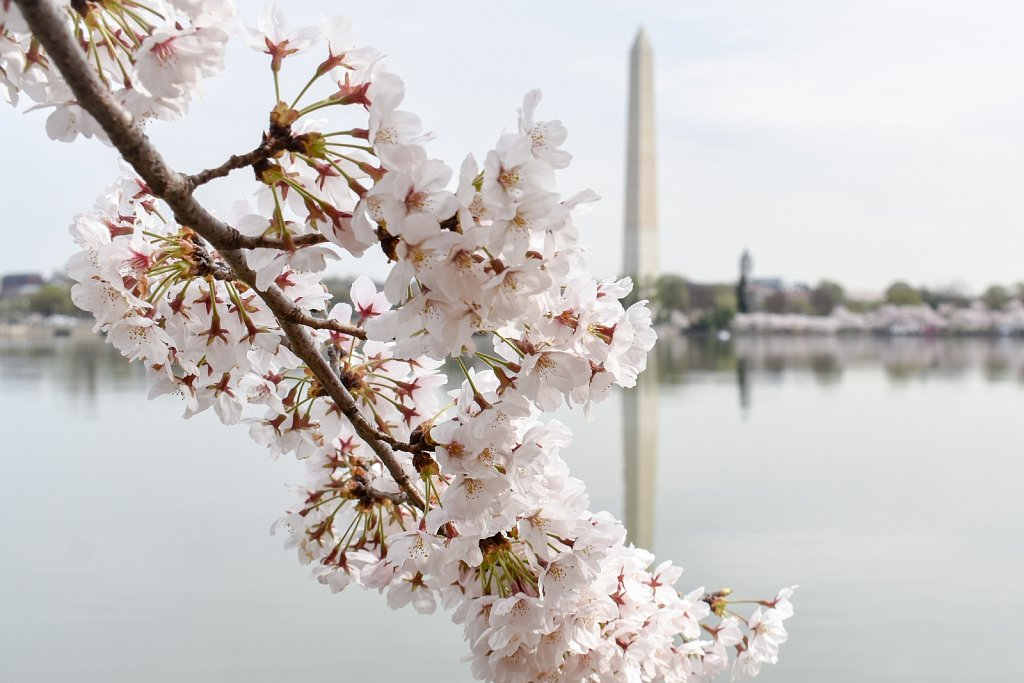 Cherry blossoms, 2019