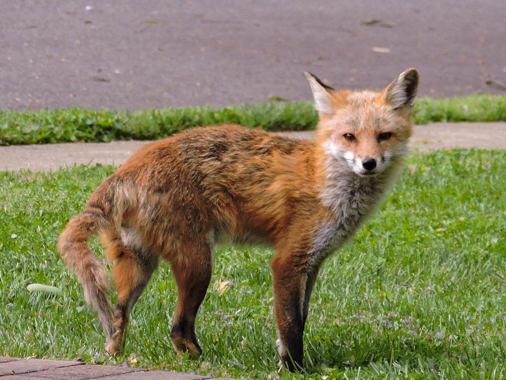 Fox, but no friends