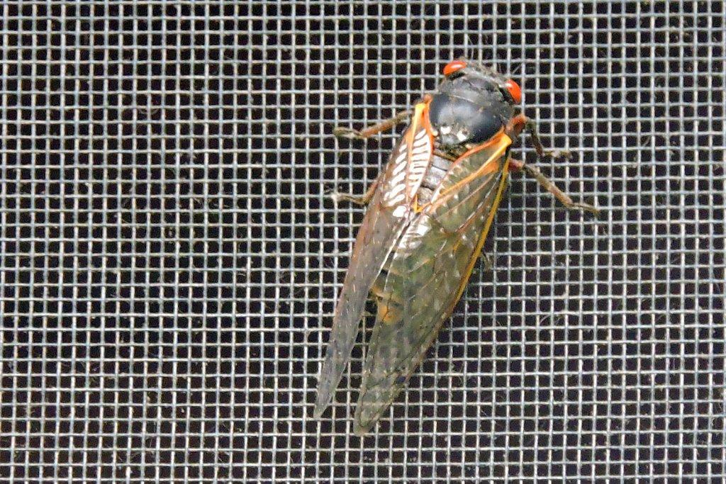 First cicada