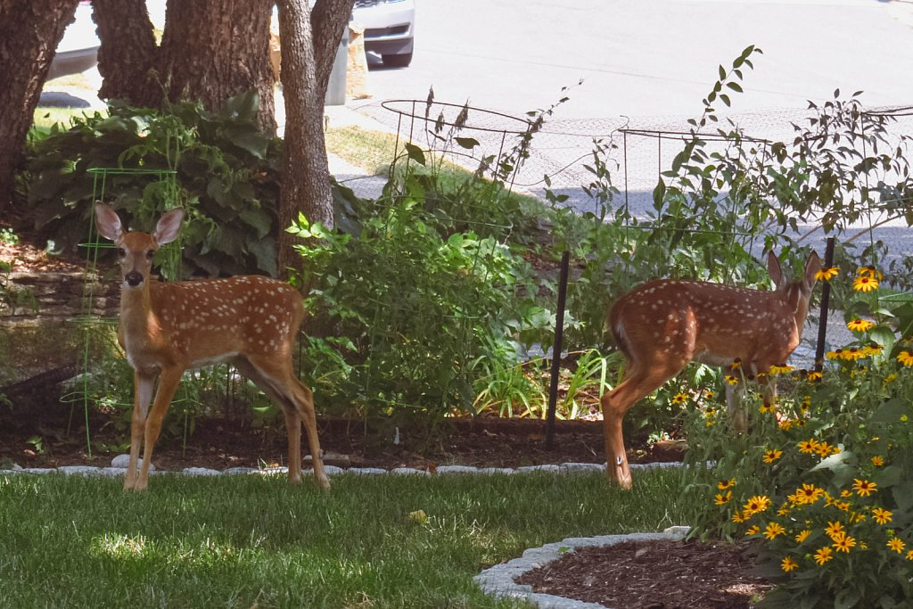 Fawns on lawn